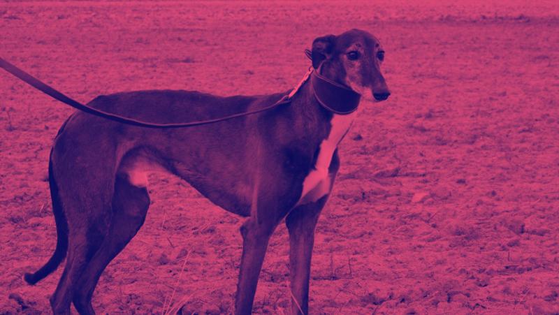 Carreras de perros: una actividad cruel que debe terminar